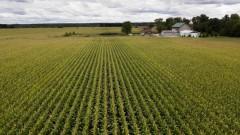 Китай одобри за внос два ГМО царевични сорта