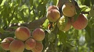 95% от прасковите в Сливенско са унищожени