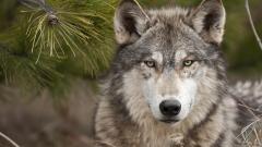 Туристи оцеляха след гонитба с вълци и падане в пропаст в Стара планина