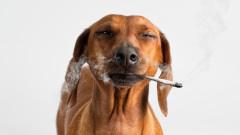 Медицинската марихуана е полезна и за кучетата