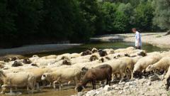 """Екарисажите в Ямболско не смогват да извозят животните, починали от """"син език"""""""