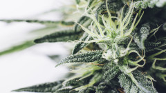 Мичиган и Северна Дакота гласуват за легализиране на марихуаната за развлечение