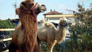 Семейство камили дефилираха в Костинброд