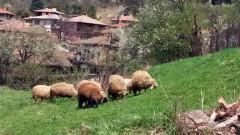 Няма чума по дребните преживни животни в Благоевградско