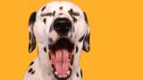 Защо кучетата се прозяват толкова много