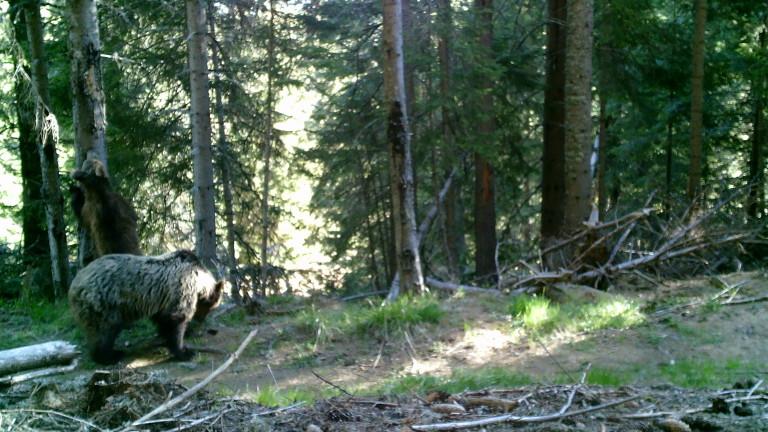 На мечка с мече се радват еколози в Западните Родопи