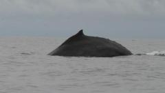 Огромни китове правят компания на участниците в Survivor