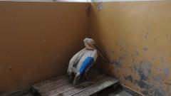 Оцелелият розов пеликан, намерен в с. Водно, е опериран успешно