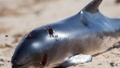 Труп на делфин уплаши туристи на плажа до Приморско
