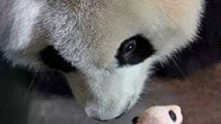 Бебе-панда дебютира във Виенския зоопарк