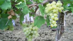 Реколтата от грозде - с 30 на сто по-малка