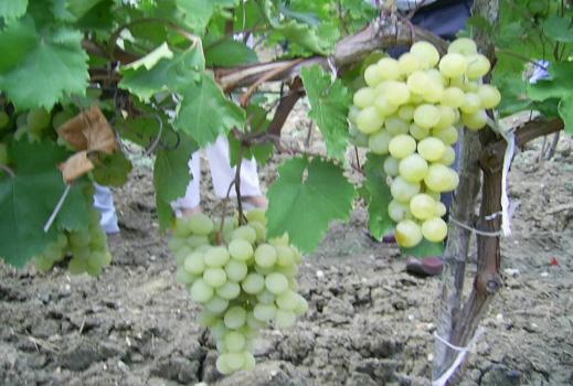 20% по-евтини домати и грозде тази есен