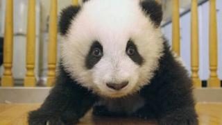 """В Китай избират """"Панда посланици"""""""