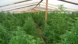 Хванаха перничанин със 113 растения марихуана
