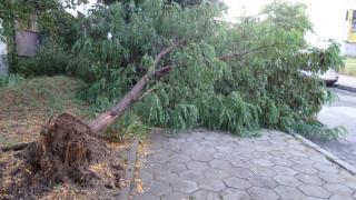 Дърво падна на пешеходна пътека в Кюстендил и рани жена
