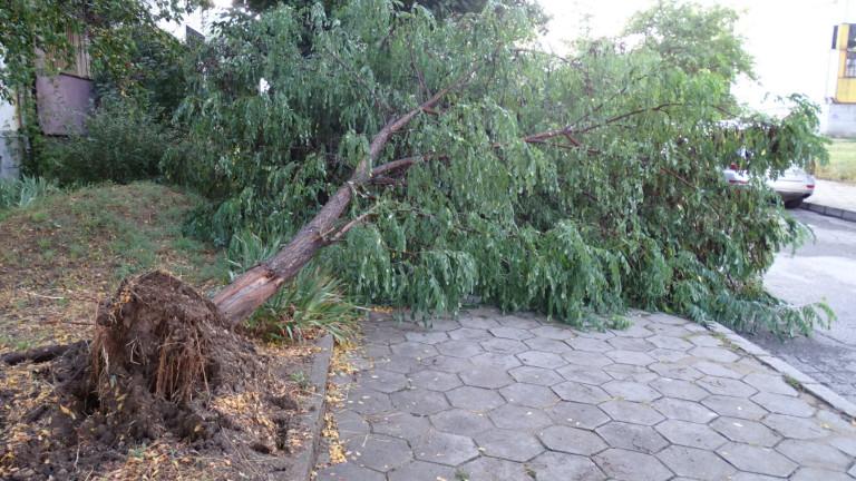Силен вятър изкорени дървета в столична детска градина
