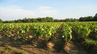 Производителите на тютюн без субсидия догодина