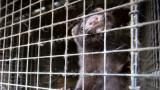 Избиват 100 000 норки с COVID-19 в Испания