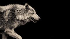 Колко време издържат без храна вълците