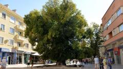 Приключва гласуването за Европейско дърво на годината