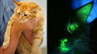 Учени създадоха светеща котка (видео)