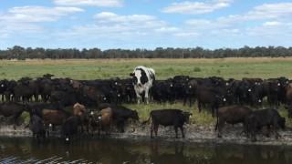 Това е най-големият бик в Австралия