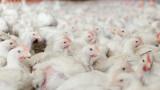 Защо Русия цели да стане основния доставчик на пилешко месо за Китай?