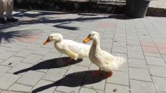 Забраняват пазарите на птици и свине в Бургаско