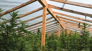 Откриха близо 150 кг марихуана в наркооранжерия край Ловеч