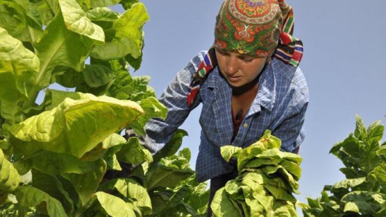 Проблем ще е излизането на Булгартабак от пазара за изкупуване на тютюн