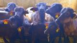 Ваксинираха срещу антракс всички животни в село Ситово