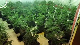 Задържаха дилър и собственик на малка плантация с марихуана в Стамболийски
