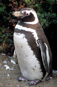 60 мъртви пингвина изплуваха на брега на Уругвай