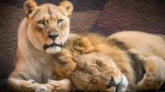 Лъвовете, които бяха неразделни и умряха заедно