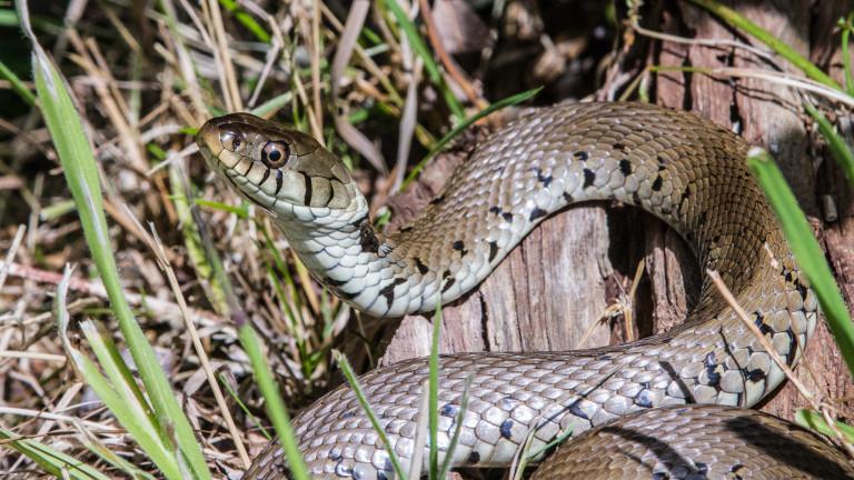 За нашествие на змии в Смолянско алармират от bTV. Преди