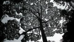 На о. Борнео откриха най-високите тропически дървета на планетата