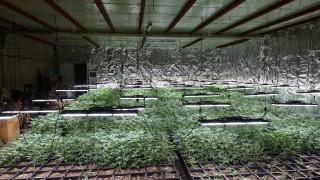Разбиха оранжерия за марихуана до Търговище