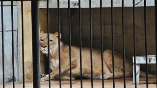 Двете лъвици отлетяха за Южна Африка