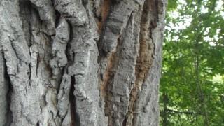 Министър Личев спря отсичането на вековно дърво на 300 години