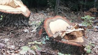 Сеч на дървета по централен булевард възмути жителите на Сливен