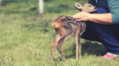 Ето защо не бива да пипаме малките сърнета, ако ги видим в гората