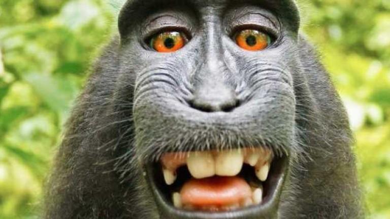 Фотограф спечели дело за правата върху маймунското селфи