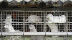 И Франция избива хиляди норки срещу коронавируса
