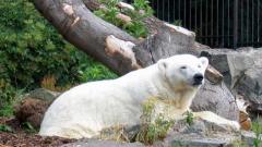 В САЩ се спомина най-старата бяла мечка