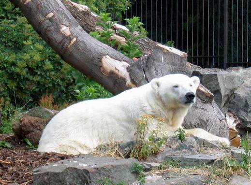 Почина най-възрастната бяла мечка