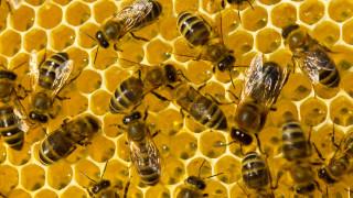 Българските учените търсят отговори защо пчелите у нас умират