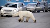 Полярна мечка се разхожда в сибирски град, далеч от нормалното й местообитание