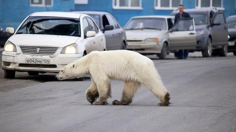 Полярна бяла мечка е забелязана в руски индустриален град в