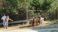 Девет огнища на бруцелоза в Сливенско