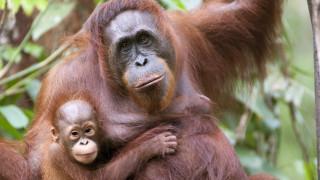 Над 100 хил. орангутани избити и загинали за 16 години